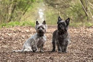 Two Terriers in the woods